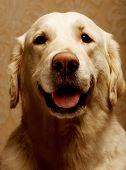 Portrait Of Purebred Golden Retriever Dog Close Up poster