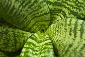 stock photo of sansevieria  - Green leaves of succulent plant close up - JPG