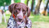 Dog Breed  German Shorthaired Pointer With A Lovely Gaze , Portrait Of A Dog Close-up poster