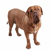 Dogue de Bordeaux/ French Mastiff isolated