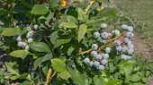 Branch Of Blueberry Vaccinium Corymbosum, Which Is In The Process Of Maturing. There Is A Bunch Of G poster