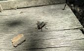 House Fly, Blow Fly, Carrion Fly, Musca Species, On Old Stained Wood, Overhead View poster
