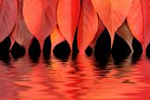 Red autumn leaves dipping into water