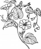 image of ipomoea  - Branch of Ipomoea purga  - JPG