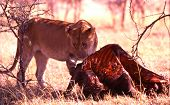 Lion At Buffalo Kill