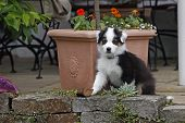Black And White And Brown Australian Shepherd Puppy