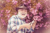 Senior Gardener. Gardening - Grandfather Gardener In Sunny Garden Planting Roses. Senior Man Gardeni poster