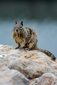 Furry Ground Squirrel Perched On Top Of Rock In A Very Alert Pose. poster