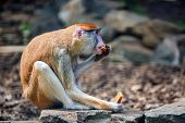 Patas Monkey Or Erythrocebus Patas Eats Bread In Captivity poster