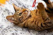 Bengal Cat - Cute Pet Playful And Happy poster