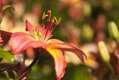 stock photo of asiatic lily  - Asiatic Lily in the summer garden - JPG