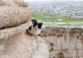 Постер, плакат: Кошка в руины F древний город Джераш