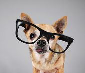 smart chihuahua wearing glasses