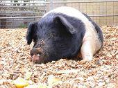 Saddle Bottom Pig