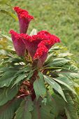 picture of cockscomb  - vibrant red flower named plumed cockscomb seen in India - JPG