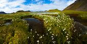 Field of cotton grass in a valley surrounded by mountains and glacial lakes at Landmannalaugar, Icel