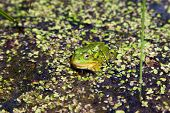 Marsh Frog (pelophylax Ridibundus) Swimming Among Water Plants