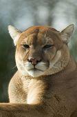 Cougar / Puma / Mountain Lion