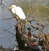 Snowy Egret and Mallard Duck