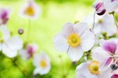 Flowers In The Garden. Anemone Japonica