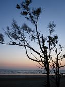 Wind blown tree at sunset