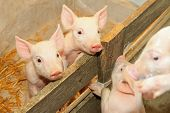 image of piglet  - Flap eared loppy piglets in pen at farm - JPG
