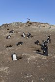 Group Of Magellanic Penguins At Magdalena Island