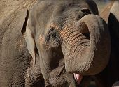 Smiling elephant - elephas maximus