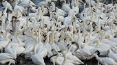 picture of trumpeter swan  - Trumpeter Swans feeeding on corn in the winter - JPG