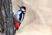 stock photo of woodpecker  - Wild bird in a natural habitat - JPG