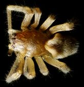 stock photo of ixodes  - Spider under the microscope  - JPG