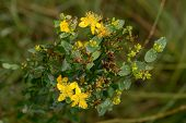 Hypericum In Summer