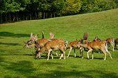 Group Of Male Deer