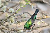 Marico Sunbird - Wild Bird Background from Africa - Spring colors of Emerald plumage