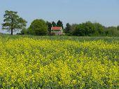 Suffolk amarelo
