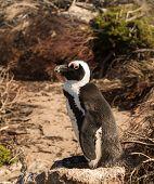 Single Small Baby Penguin At Bettys Bay