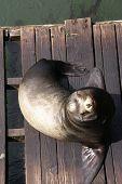 Portrait, California Sea Lion, On Wharf,