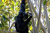 Siamang Scratching Head