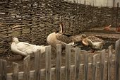 Photo of domestic geese domestic geese