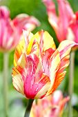 picture of pinky  - Blossom Tulips Closeup - JPG