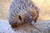 Echidna - Native Australian Animal poster