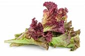 Red Leaf Lolo Rosso Lettuce