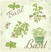 Basil, herb, plant,