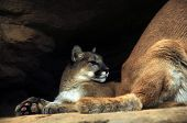 picture of mountain lion  - Mountain Lions - JPG