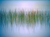 Reeds Reflections