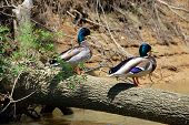 mallards on a log