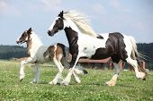image of mare foal  - Nice skewbald irish cob mare running with foal on pasturage - JPG