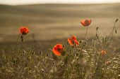 Field of Corn Poppy Flowers