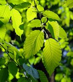 image of alder-tree  - Green alder leaves in sunlight - JPG