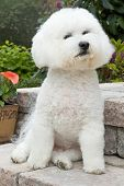 foto of bichon frise dog  - Bichon Frise once a royal companion to French royalty in a proud pose - JPG